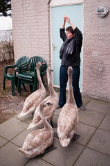 Swan attack!