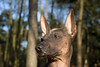 Luna - Peruvian Hairless Dog by David d'O