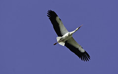 stork, animal, wing, kite, beak, bird, flight,
