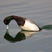 Greater Scaup Diving