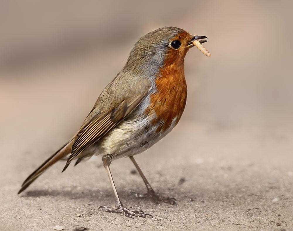 European robin( Erithacus rubella) My garden South London