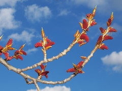 Populus nigra (48°05´ N 16°37´ E)