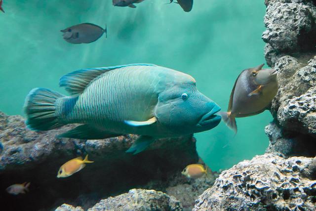 Humphead wrasse  called Napoleon Fish  Kasai Rinkai Suizokuen  Tokyo Humphead Fish