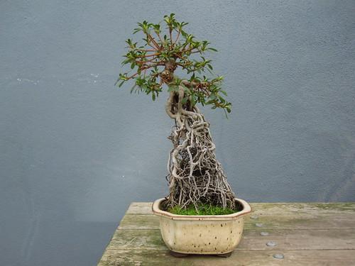 Satsuki azalea in Exposed Root Style