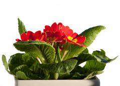 cyclamen(0.0), flowerpot(1.0), flower(1.0), leaf(1.0), plant(1.0), floristry(1.0), herbaceous plant(1.0), petal(1.0),