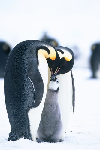 Emperor penguins and chick at Snow Hill Island by Exodus Travels - Reset your compass