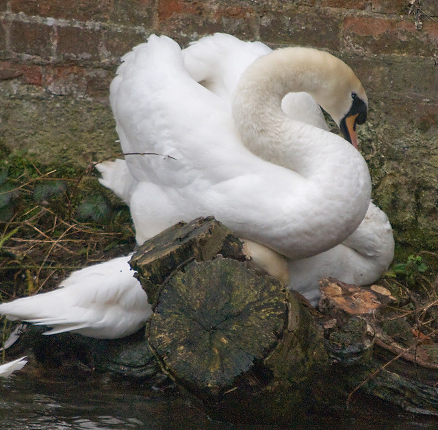 Swan Sex (The act). It all ended happily with the male swan doing what they ...