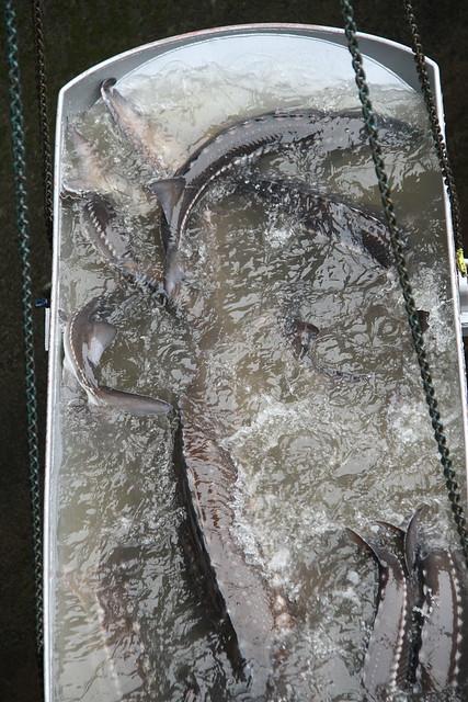 Bonneville dam sturgeon removal img 3036 bonneville dam for Bonneville dam fish camera