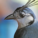 Magpie-Jays - Photo (c) Jerry Oldenettel, some rights reserved (CC BY-NC-SA)