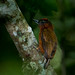 Rufous-breasted Piculet