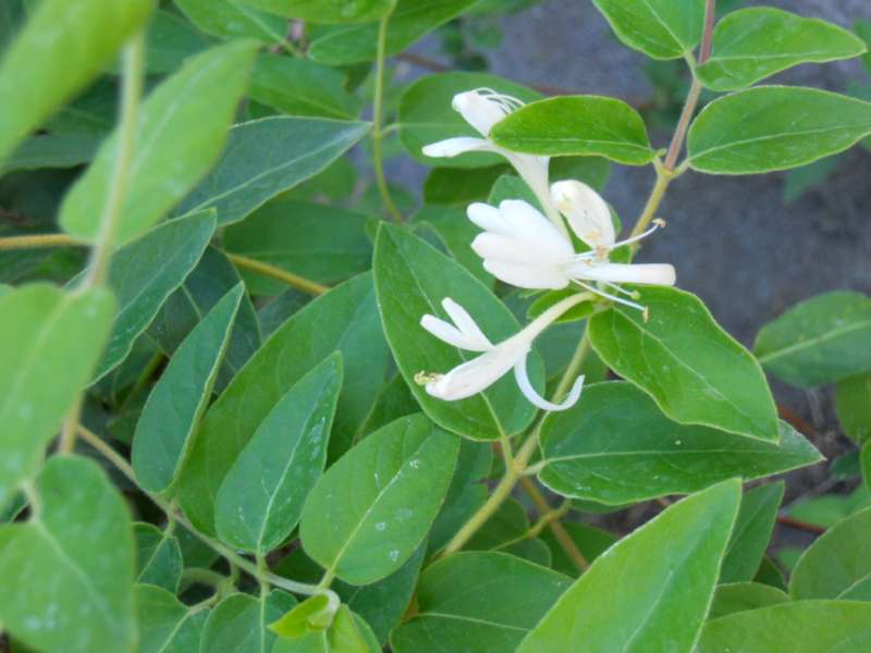 Lonicera japonica 5