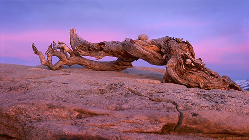 Jeffrey Pine, Twilight, Yosemite National Park