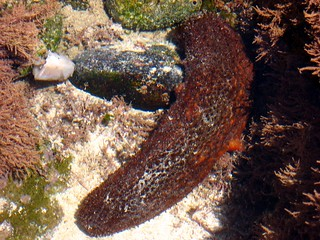 Tide Pool Sea Cucumber