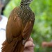 Ivory-billed Woodcreeper - Photo (c) Carol Foil, some rights reserved (CC BY-NC-ND)