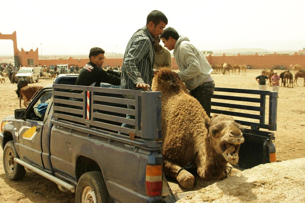 Venda d'un camell 4