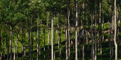 forestteafieldsshademountainnilgirisnextdoorfieldemmathomas