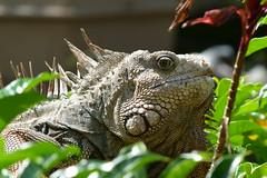 Iguanidae Iguana Green Iguanidae