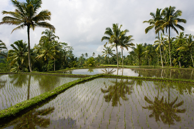 Bali rice field by CC user marmontel on Flickr
