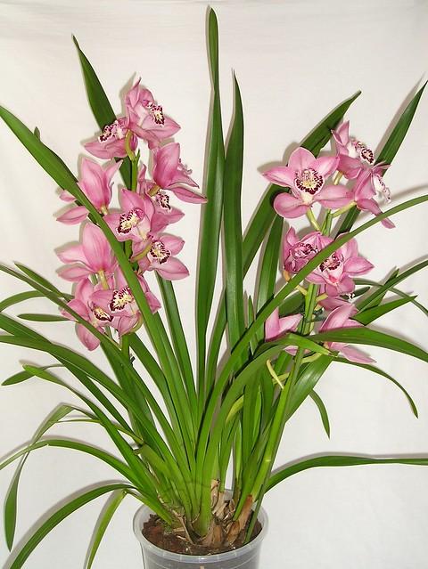 2 jahre alte cymbidium will nicht mehr bl hen orchideenforum. Black Bedroom Furniture Sets. Home Design Ideas