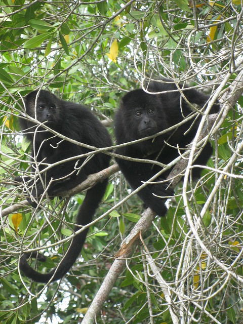 Howler Monkeys at the Belize Baboon Sanctuary
