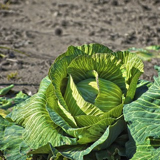 Country Cabbage