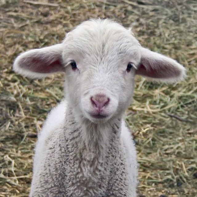 Lamb at Noh Ranch
