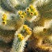 Cholla, Joshua Tree