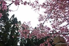 武陵農場 看看櫻花