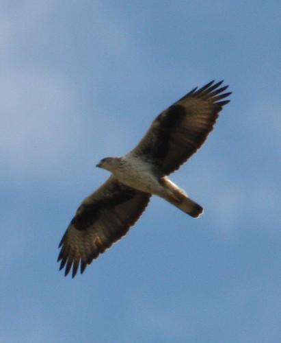 2011_02_27 MON - Bonelli´s Eagle (Hieraaetus fasciatus) 06