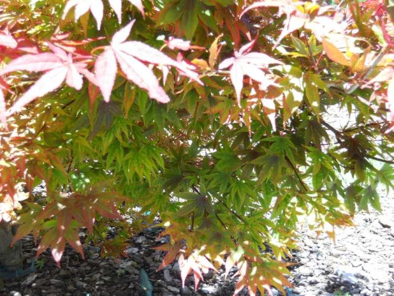 Acer japonicum 4