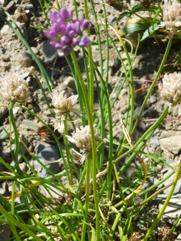 Allium schoenoprasum v 2
