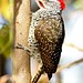 Nubian Woodpecker (Julia Casson)