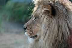 animal(1.0), mane(1.0), big cats(1.0), masai lion(1.0), lion(1.0), mammal(1.0), fauna(1.0), close-up(1.0), whiskers(1.0), safari(1.0), wildlife(1.0),