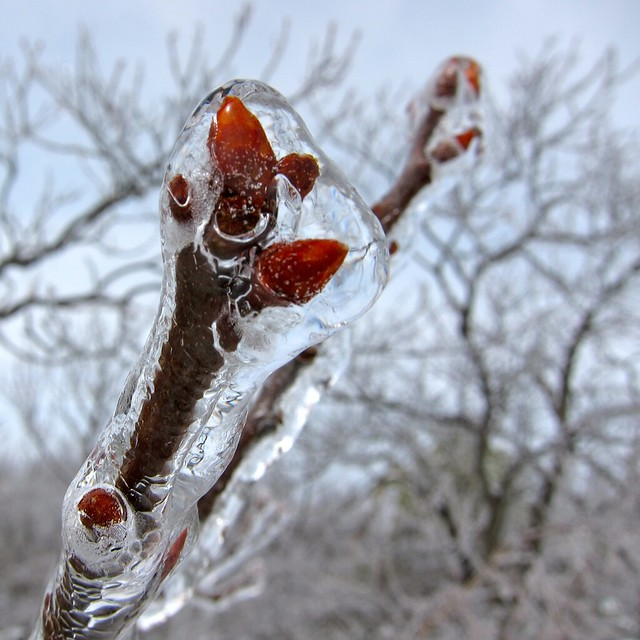 Buds in ice