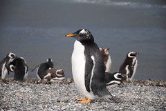 animal(1.0), penguin(1.0), flightless bird(1.0), fauna(1.0), king penguin(1.0), beak(1.0), bird(1.0), wildlife(1.0),