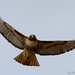 Red-Tailed Hawk in Flight 1C
