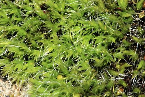 Grey-cushioned Grimmia 25848