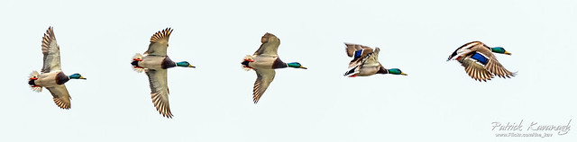 Mallard Flight Path