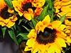 Sunflower by Jane Photo1