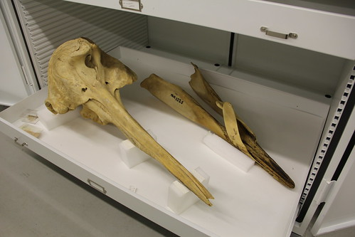 strap toothed whale skull