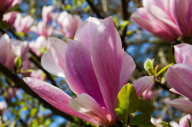 Japonica flower