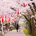 Hanami in Japan : Cherry blossom viewing