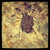 Wolf Spider with babies on back (coloured dots are flash reflecting off babies eyes)