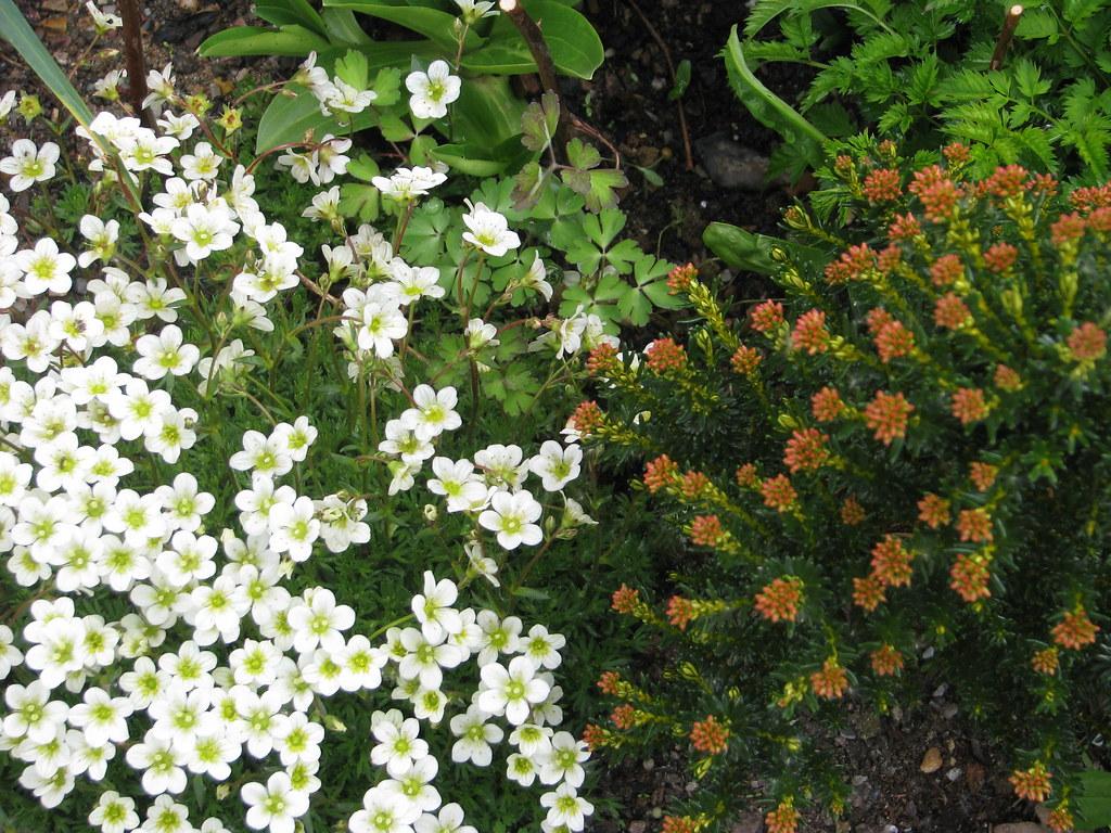 Saxifraga Foundling & Ozothamnus ledifolius
