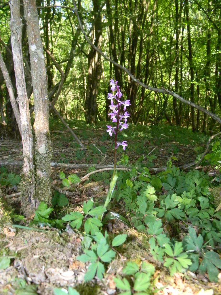 Orchid Early purple? Ockley to Warnham
