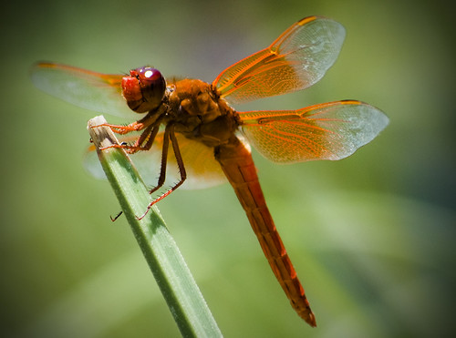 orange dragonfly.  Photo © flickr user: Michael T. McNerney.