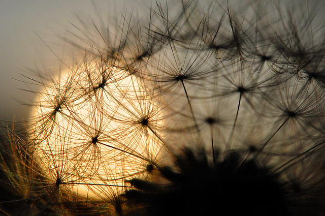 dandelion sunset related keywords - photo #49