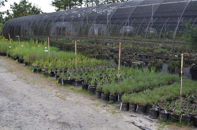 Grasses and Sedges, Rarefind Nursery