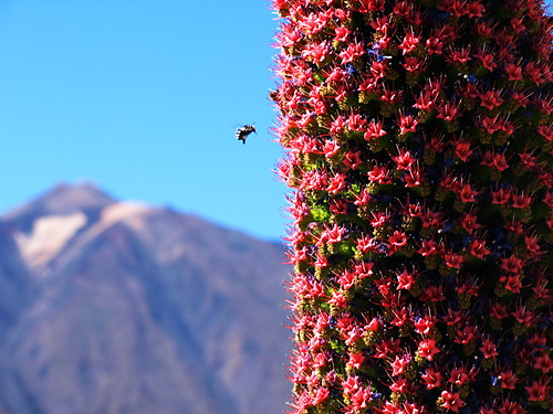 Tajinaste in Bloom, Mount Teide