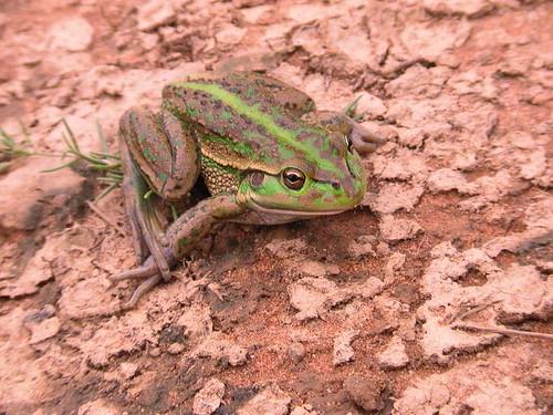 Southern Bell Frog, Ramsay Retro Farmstay, Booroorban